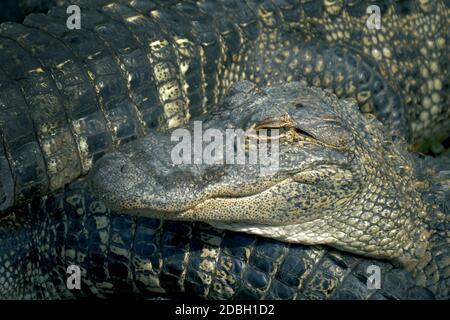 Gli alligatori si accovacciano l'uno accanto all'altro e sono intrecciati con corpi. Allevamento alligatori. Coccodrillo fattoria un sacco di allineatori sfondo arrabbiato. Coco Foto Stock