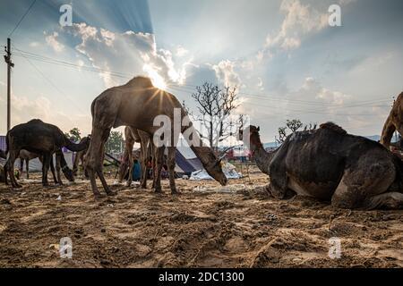 cammelli a pushkar mela.famous cammello e fiera del bestiame nella città di pushkar.farmers e commercianti da tutto il rajasthan gregge la fiera annuale.