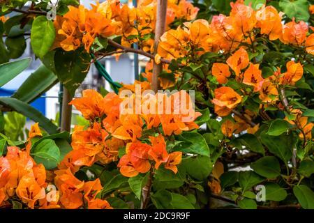 Fiori multicolore Bougainvillea, fiori colorati