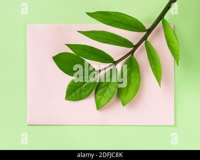 Fresco gambo verde di eternità Zuzu pianta o Zamioculcas zamiifolia su una carta pastello rosa carta su sfondo verde. Vivere uno stile di vita verde.