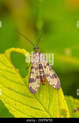 Scorpionfly, strano insetto su una foglia
