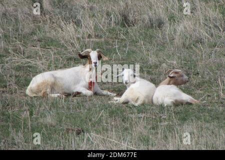 Capra di Momma e capra del bambino che raffredda in UN campo