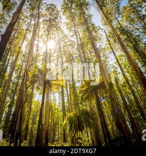 Lussureggianti felci, felci arboree e torreggiante montagna lungo lo sperone nero, Victoria, Australia Foto Stock