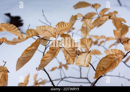 Foglie gialle in una foresta innevata. Un arbusto basso di un faggio. Un giorno grigio invernale nuvoloso. La consistenza delle foglie sullo sfondo di insenatura di neve intatta Foto Stock