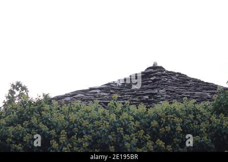 antico tetto di ardesia circondato da edera Foto Stock