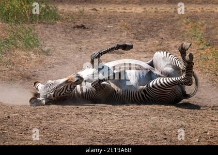 Zebra rotola su terreno polveroso. Foto Stock