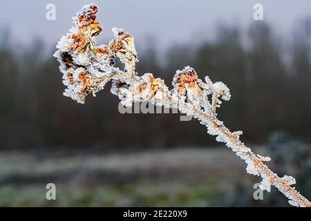 il gelo dell'anuario scintilla sul ramoscello congelato Foto Stock