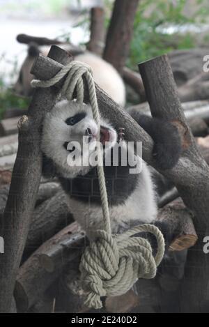 Berlino, 14.02.2020: Zwei Wochen nach dem Einzug der Pandas in ihr neues Gehege kehrt Normalität ein. Die Zwillinge Meng Xiang und Meng Yuan alias Pit