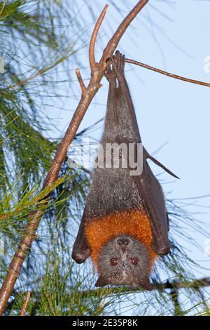 Volpe con testa grigia, Pteropus poliocephalus. Appeso da un ramo. Specie vulnerabile. Vedere di seguito Foto Stock