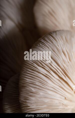 Funghi di ostrica. Texture di funghi primo piano. Cibo sfondo.