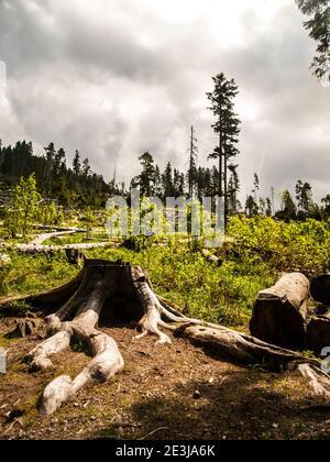 Vento in foresta di conifere dopo forte devastante strom Foto Stock