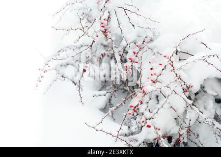 Biancospino di bacche rosse sotto la neve. Spazio di copia.