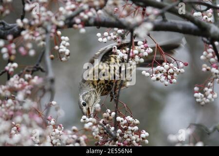 Mistle thrush che si nutre di frutti di bosco invernali