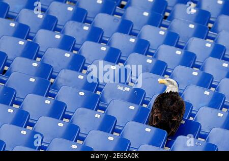 Lazio's mascot, a white headed eagle called Olimpia, lands in the stands before the start of the Italian Serie A soccer match against Napoli at the Olympic stadium in Rome January 18, 2015.  REUTERS/Alessandro Bianchi (ITALY - Tags: SPORT SOCCER TPX IMAGES OF THE DAY) Foto Stock