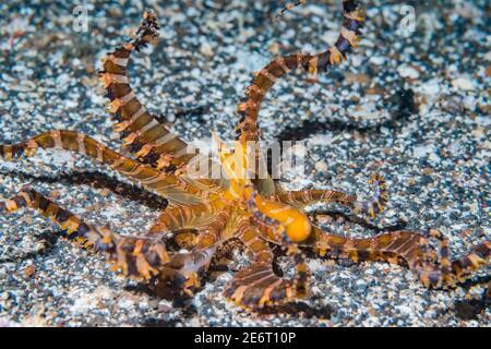 Wunderpus o Wonderpus polpo [Wunderpus photogenicus]. Lembeh Strait, Sulawesi del Nord, Indonesia. Foto Stock