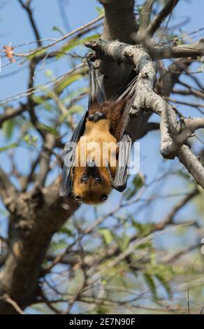 Greater Indian Fruit Bat (Pteropus giganteus), conosciuto anche come la volpe indiana, ) appeso in un albero alla luce del giorno.