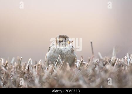 Casa Sparrow, Passer domesticus, in piedi su un cespuglio con un bel sfondo sfocato