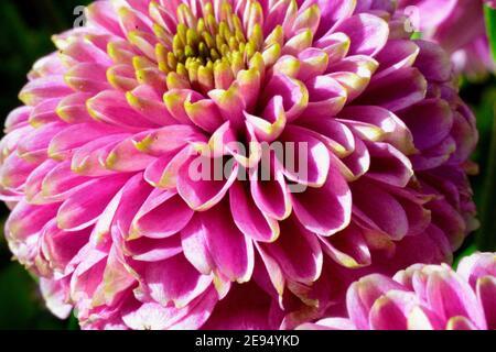 Primo piano macrofotografia di tre coloratissime margherite di gerbera. Un mix di teste di fiori rosa, giallo e arancione bruciato che rendono un'esposizione estiva di vibrante