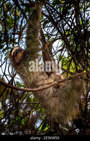 Bruno gola a tre punte con immagine del bambino scattata in Panamas foresta pluviale Foto Stock