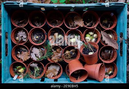 Gruppo di vasi di plastica con bulbi in cassa di plastica in autunno inverno Foto Stock