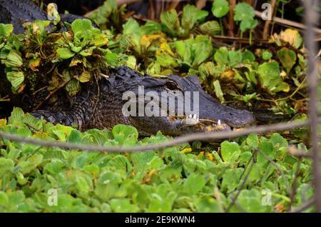 Alligatore americano che si affaccia sul fiume San Giovanni in Florida Foto Stock