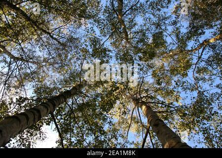 Guardando verso l'alto da un angolo basso al sole e. cielo blu attraverso le cime degli alberi in un pf di legno Alberi di betulla Foto Stock