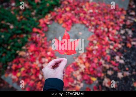 Giovane donna che tiene una singola foglia di acero rosso in piedi a forma di cuore creata da foglie di acero rosso e arancio autunno. Superficie asfaltata al centro. Pl. Vuoto