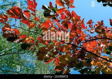 Herbstblaetter, Parrotie