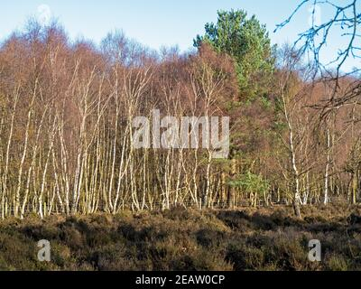 Bracken e alberi di betulla d'argento in inverno Foto Stock
