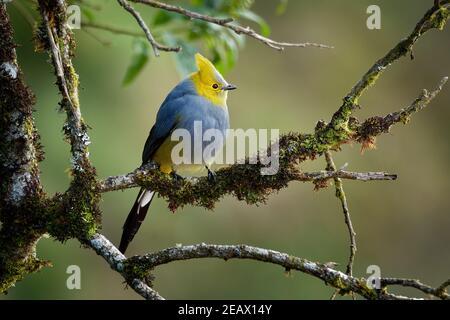 Catcher di seta a coda lunga - Ptiliogonys caudatus passerine uccello sulle montagne della Costa Rica e del Panama, specie di dimensioni ridotte relative a waxwing,