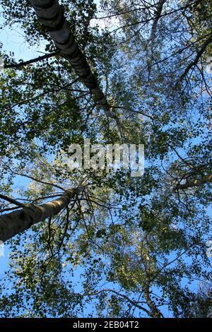 guardando verso le cime degli alberi dal piano terra, attraverso la tettoia con cielo blu e sole Foto Stock