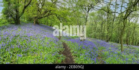 Un percorso attraverso un bosco di Bluebell inglese in primavera con le foglie sugli alberi appena uscenti, Staffordshire, Inghilterra, Regno Unito