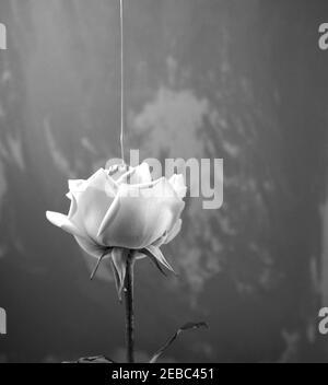 Fotografia in bianco e nero di stile vintage. Colore fluido acrilico che si versa sulla rosa. Testa sopra, vista laterale di fiore singolo con arte irregolare