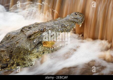 Enorme coccodrillo del Nilo, coccodrillo niloticus, pesce da caccia che nuotano lungo il fiume a Weir, distretto di Malelane, Parco Nazionale Kruger, Sudafrica
