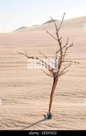 Un arbusto morto che si erge dalla sabbia del Grande Mare di sabbia nella regione del deserto occidentale del Sahara in Egitto. Foto Stock