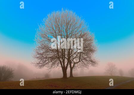 Insolito paesaggio colorato di grandi alberi di frassino con blu luminoso cielo e bassa nebbia Foto Stock