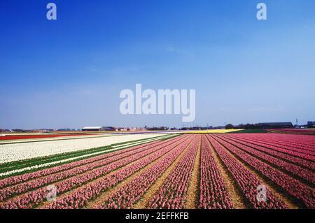 Vista panoramica dei fiori in un campo, Amsterdam, Paesi Bassi