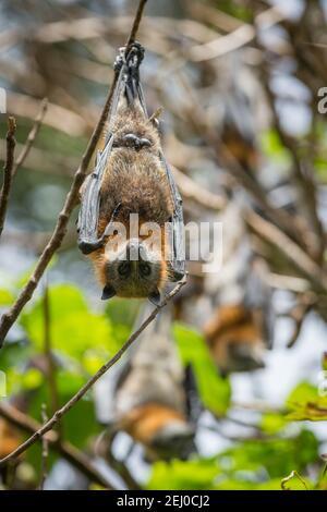 Volpe con testa grigia (Pteropus poliocephalus), Riserva dell'Isola di Bellingen (Isola di Bat), Bellingen, nuovo Galles del Sud, Australia. Foto Stock