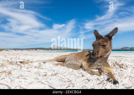 Canguro gigante grigio occidentale adagiato sulla spiaggia Foto Stock