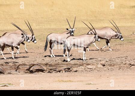 Gemsbok o Gemsbuck (Oryx gazella) mandria presso la sorgente nel fiume Auob, Kgalagadi Tranfrontiera Park, Kalahari, Capo del Nord, Sudafrica