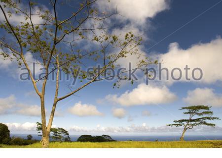 Acacias vicino alla cascata Akaka presso l'Akaka Falls state Park. Grande isola. Hawaii. All'Akaka Falls state Park, situato lungo la costa nord-orientale di Hamakua, potrai vedere due splendide cascate in una breve escursione. La piacevole escursione in salita di 0.4 km ti porterà attraverso una lussureggiante foresta pluviale piena di orchidee selvatiche, boschetti di bambù e felci da drappeggio. Mentre segui il sentiero lastricato, vedrai per prima cosa le cascate Kahuna, alte 100 metri. Continua a seguire il giro intorno alla curva e scopri le torreggianti cascate Akaka, che precipitano di 442 metri in una gola erosa di ruscelli. Le splendide cascate Akaka sono forse delle Hawaii Island Foto Stock