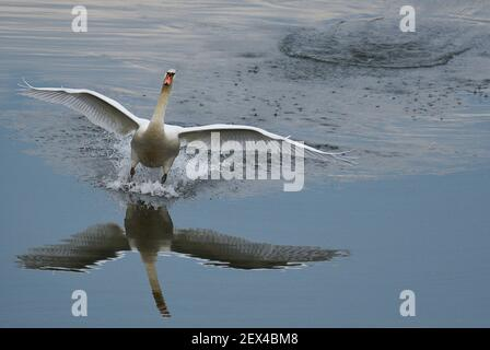 Cigno muto (Cygnus olor) all'atterraggio, Sauer Delta Riserva Naturale, riva del Reno, Munchhausen, Alsazia