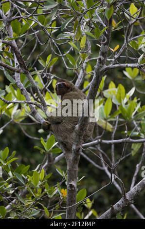 Un'insenatura a tre punte su un albero nella giungla del Parco Nazionale di Corcovado, la Penisola di Osa, Costa Rica Foto Stock