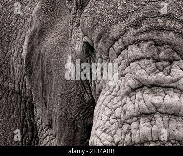 Primo piano di elefante africano (Loxodonta africana) nel cratere di Ngorongoro, Tanzania