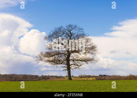 Quercia solitaria in un campo in primavera in una giornata di sole con cielo blu e nuvole bianche. Molto Hadham, Hertfordshire. REGNO UNITO Foto Stock