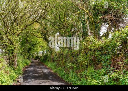 Percorso alberato di alberi decidui in primavera al Dartmoor National Park, Inghilterra, Regno Unito Foto Stock