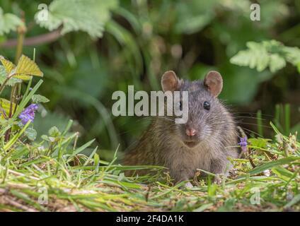 Primo piano ritratto di un rat marrone (rattus norvegicus) in habitat naturale. Suffolk , Regno Unito Foto Stock