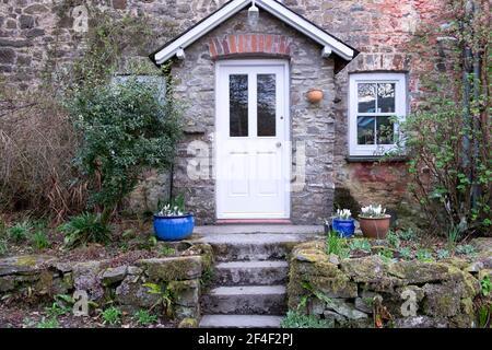 Vista esterna della porta anteriore bianca su cottage in pietra Primavera con crocus bianchi in vasi da giardino in ceramica blu Carmarthenshire GALLES REGNO UNITO KATHY DEWITT Foto Stock