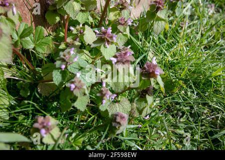 Primo piano del fiori selvatici Red Dead-Nettle (purpureo di Lamium)
