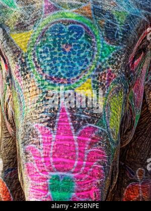 Elelfante indiano - dipinto in primo piano Elephas maximus indicus Jaipur, India MA003893 Foto Stock